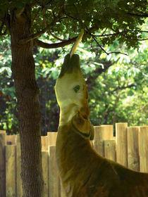 Okapis lange Zunge, long tongue von Sabine Radtke