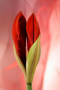 Amaryllis by pichris