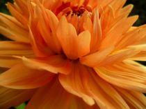 orangefarbene Dahlie von Andrea Hensen