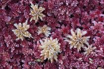 Frozen Sphagnum moss von Nicklas Wijkmark