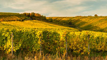 Weinberge bei Martinsthal by Erhard Hess
