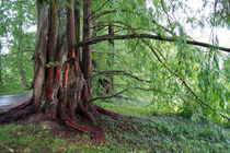 Mammutbäume, sequoias von Sabine Radtke