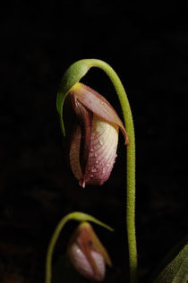 Lady's Slipper by Paul Hausammann
