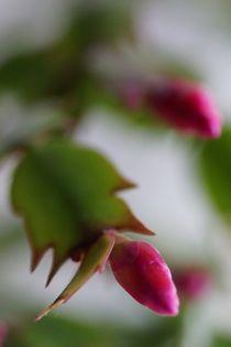 Weihnachtskaktus Blüten, Knospen, Rosa, Frisch, Makro von lewin