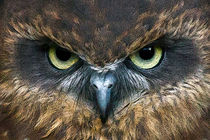 Boobook Owl by Bill Simpson