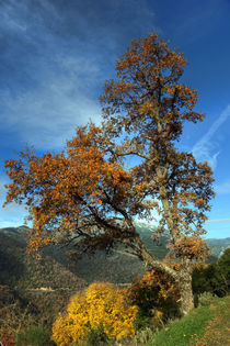 A tree in Arcadia, Greece by Constantinos Iliopoulos