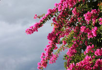 Bougainvillea by Rosalie Scanlon