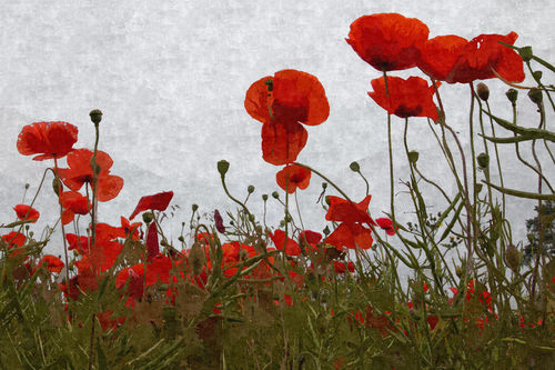 Poppies-iv