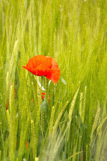 Poppy by David Pringle