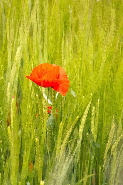 Poppies-ix