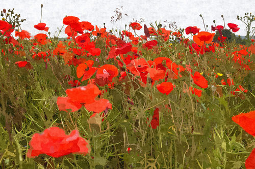 Poppies-v