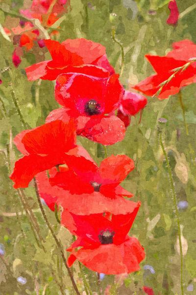 Poppies-vi