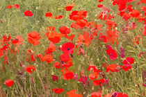Poppies by David Pringle