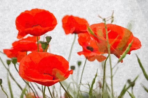 Poppies-xi