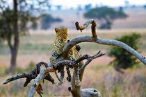 El distinguido vigía - leopard on the tree von Víctor Bautista