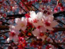 Kirschblüte von Sarah-Isabel Conrad