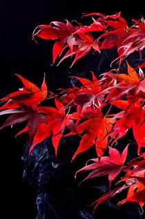 Japanese maple tree  (Acer palmatum) on black by 7horses