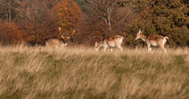 Fallow Deer Stag and Does von Nigel Jones