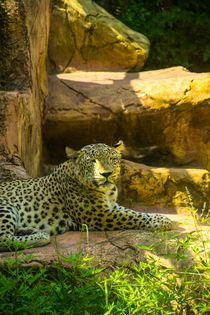 Jaguar sitting on rock von slavamalai