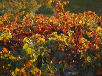 Vineyard in Autumn by Christi Ann Kuhner