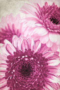 Pink Gerbera von AD DESIGN Photo + PhotoArt