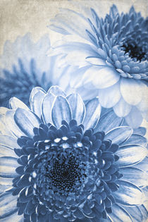 Blue Gerbera von AD DESIGN Photo + PhotoArt