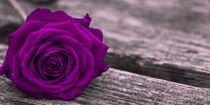 Rose auf Steg in Brombeere von Thomas Bytoff