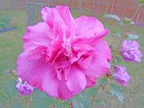 Blooming Fuschia Rose by skyler