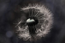 Dandelion Blue by Cathrin Kaden