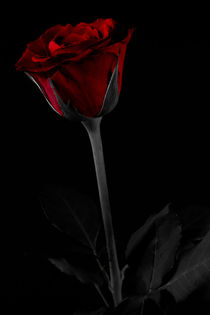 Rose by foto-m-design