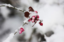 [winter time] ... frozen berries von meleah