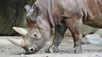 Rhino Rhino by Albert Blauhorn