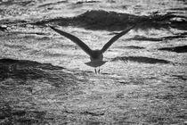 Möwe im Flug by Beate Zoellner