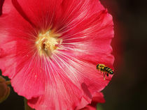 Biene im Anflug, The bee in the approach von Sabine Radtke
