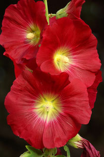 Rote Stockrose, Red Hollyhock by Sabine Radtke