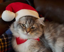 Siberian Kitten at Christmas von Louise Heusinkveld