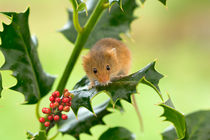 Harvest-mouse-with-holly0119