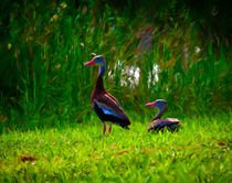 Black-bellied Whistling Ducks by Mike Darrah