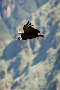 A Condor in flight. by Tom Hanslien
