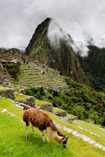 Grazing Llama at Machu Picchu. von Tom Hanslien
