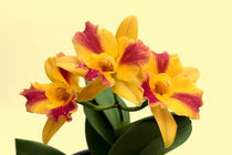 Orchidee Potinara Burana Beauty - orchid by monarch