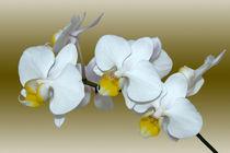Orchidee Phalaenopsis - orchid von monarch