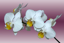 Orchidee Phalaenopsis by monarch