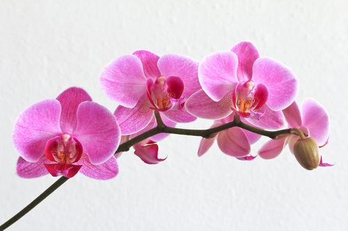 Phalaenopsisrispe-dot-rosa-dot-0695a
