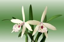 Orchideen Brassolaelia - orchids von monarch