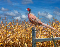 Ringneck Pheasant sitting on a fence post by a cornfield von Randall Nyhof