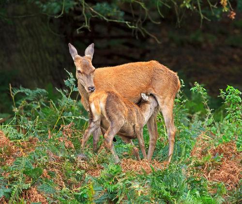 Red-deer-doe-and-faun0162
