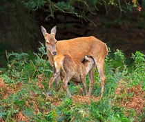 Red Deer Hind Feeding Fawn von Louise Heusinkveld