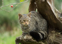 Scottish Wildcat on an Old Stump von Louise Heusinkveld