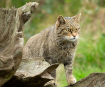 Scottish wildcat, Felis silvestris von Louise Heusinkveld